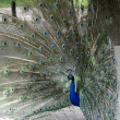 Stock Photo: Peacock with tail