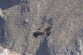Condor in canyon — Stock Photo