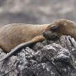 Sleeping Fur Seal — Stock Photo