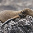 Stock Photo: Sleeping Fur Seal