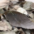 Stock Photo: Leaf of coca