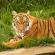 Tiger — Stock Photo #1574386
