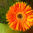 Single orange gerbera — Stock Photo