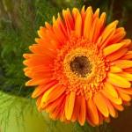 Single orange gerbera — Stock Photo #1754339