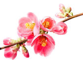 Spring flowering quince — Stock Photo