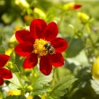 Royalty-Free Stock Photo: Bee on red flower