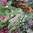 Stock Photo: Cabbage flowerbed