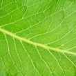 Stock Photo: Fresh green horseradish leaf