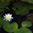 Royalty-Free Stock Photo: Water lily, nenuphar