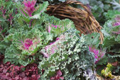 Cabbage flowerbed — Stock Photo