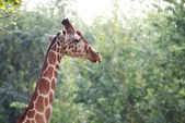 Giraffe head shot — Stock Photo