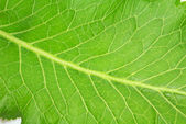 Fresh green horseradish leaf — Stock Photo