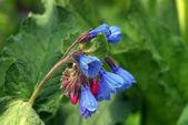 Blooming Virginia Bluebells (Mertensia v — Stock Photo