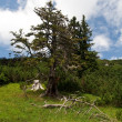 Old tree on an alpine hill — Stock Photo
