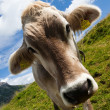 Stock Photo: Alpine cow on green meadow