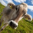 Alpine cow on green meadow — Stock Photo #1060841