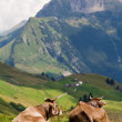 Two cows enjoing a view — Stock Photo