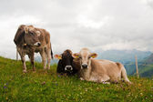 Group of alpine cows looking at camera — Stock Photo
