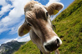 Alpine cow on green meadow — Stock Photo