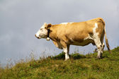 Alpine cow on a hill — Stock Photo
