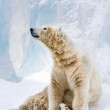 Young polar bear looking around — Stock Photo #1104600