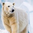 Polar bear in Zoo — Stock Photo #1104699