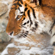 Siberian tiger in zoo — Stock Photo #1104734