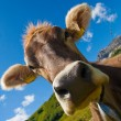 Alpine cow on green meadow — Stock Photo #1104779
