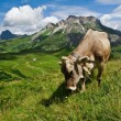 Alpine cow eating on green meadow — Stock Photo