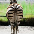 Zebra from the back view - 图库照片