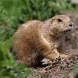 Prarie dog looking out of shelter — Stock Photo