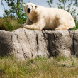 Polar bear on a green meadow — Stock Photo