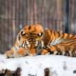 Siberian Tiger in Zoo — Stock Photo