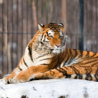 Siberian Tiger in Zoo - 