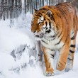 Siberian tiger in zoo — Stock Photo #1105154