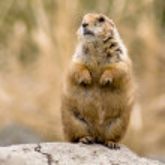 Standing and looking around prairie dog — Stock Photo
