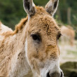 Royalty-Free Stock Photo: Donkey looking at camera