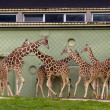 Family of giraffes — Stock Photo