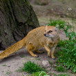 Yellow mongoose under the tree — Stock Photo #1105238