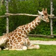 Sitting giraffe - Stock Photo