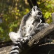 Lemur on the tree - Stock Photo