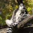 Lemur op de boom — Stockfoto