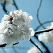 Branch of cherry tree — Foto de Stock