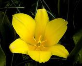 Kaufmanniana Tulip Berlioz — Stock Photo