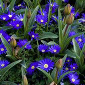 Anemone Blanda Gemengd flowers — Stock Photo