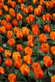 Flair Tulip — Stock Photo