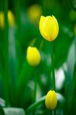 Tulipanes amarillos en el parque keukenhof — Foto de Stock