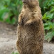 Big prairie dog stading straight — Stock Photo