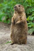 Big prairie dog stading straight — Stock Photo