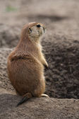 Prairie dog stading next to hole — Stock Photo
